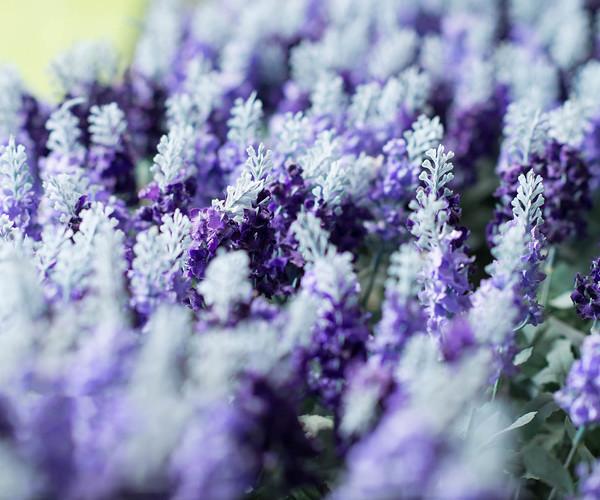 Taichung - Purple Lavender