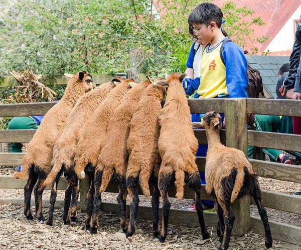 Miaoli - Cows and Kids